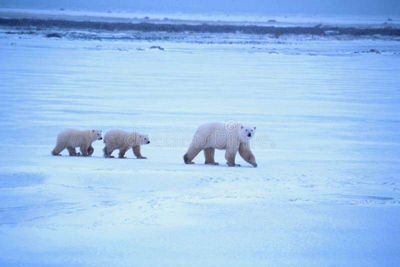 Madre e cuccioli dell'orso polare fotografia stock