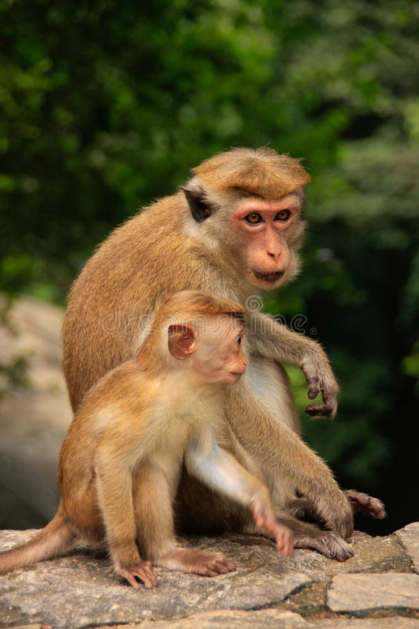 Madre e fare da baby-sitter dei macachi del Toque al tempio della caverna in Dambull immagine stock libera da diritti