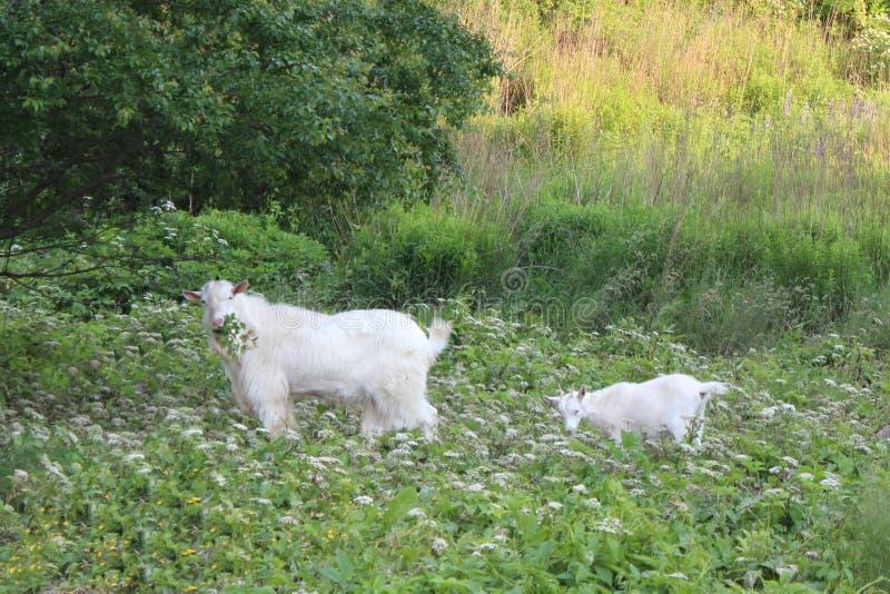 Madre e figlia della capra fotografia stock