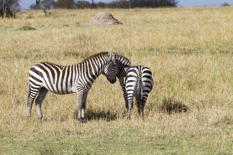 Madre e hijo de la cebra en Kenia fotografía de archivo