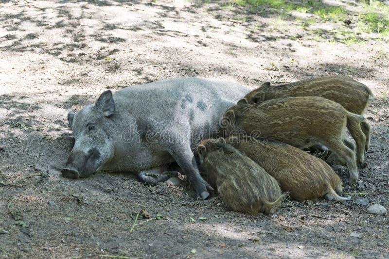 Madre e porcellini del cinghiale che allattano immagine stock