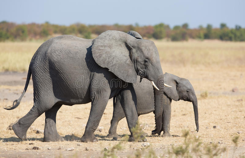 Madre e vitello dell'elefante che camminano mentre legando fotografia stock