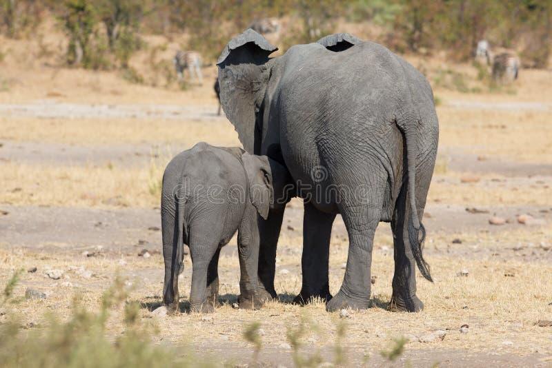 Madre e vitello dell'elefante che camminano mentre legando relazione immagini stock libere da diritti