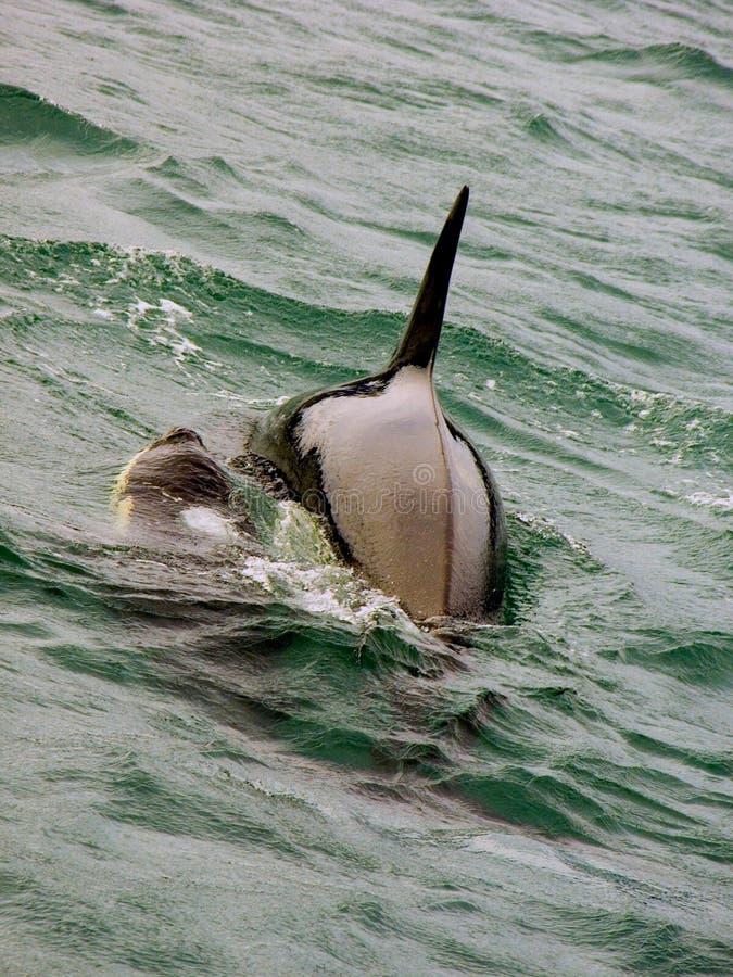 Madre e vitello della balena di assassino dell'orca immagine stock