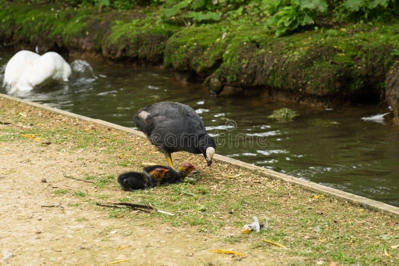 Madre euroasiatica della folaga dell'acqua con due pulcini che fouraging fotografia stock libera da diritti