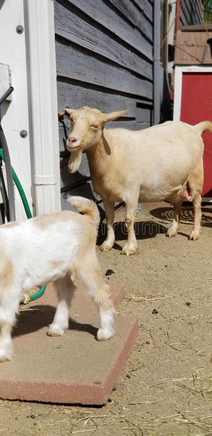 Madre pigmea nel cortile - hircus della capra di aegagrus della capra immagine stock