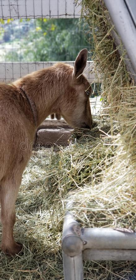 Madre pigmea nel cortile - hircus della capra di aegagrus della capra fotografia stock