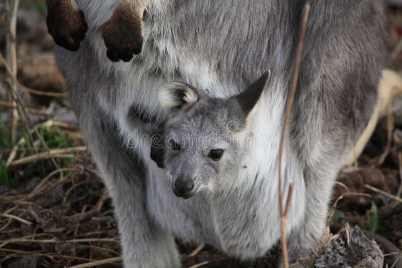 Madre Wallabie con it' bambino Joey di s fotografia stock