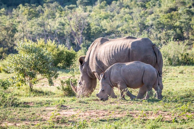 Madre y bebé blancos del rinoceronte en la hierba imagenes de archivo