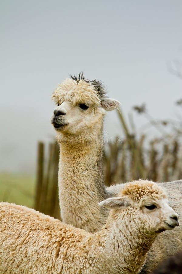 Madre y bebé de la alpaca imágenes de archivo libres de regalías
