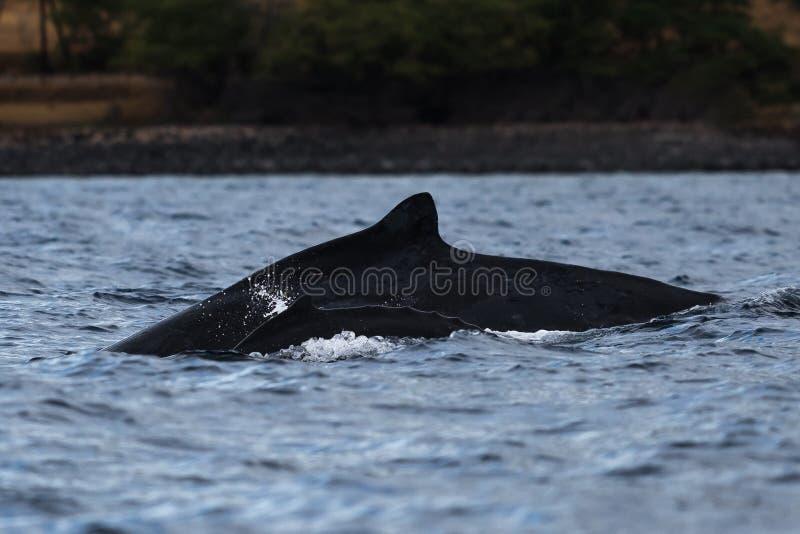 Madre y bebé de la ballena jorobada fotografía de archivo