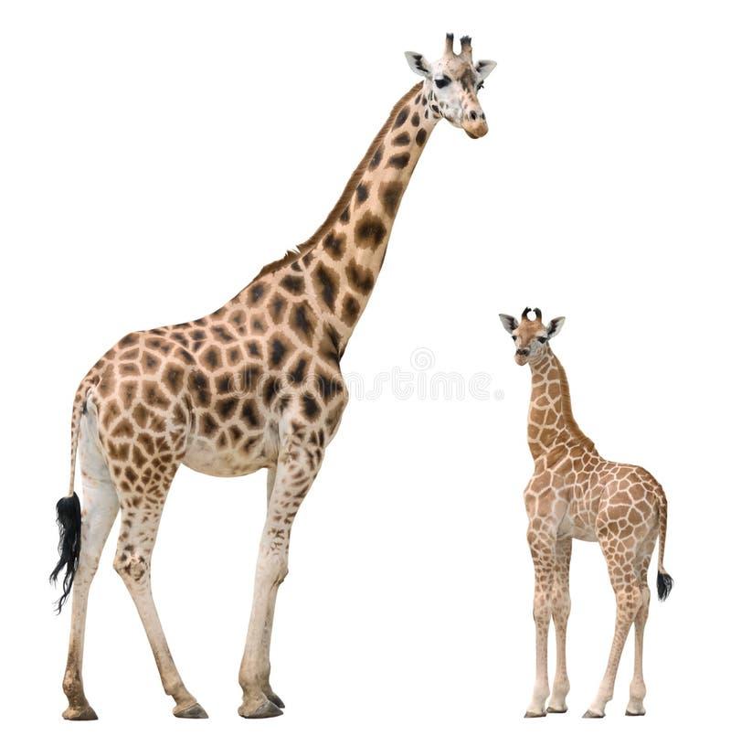 Madre y bebé de la jirafa imagen de archivo
