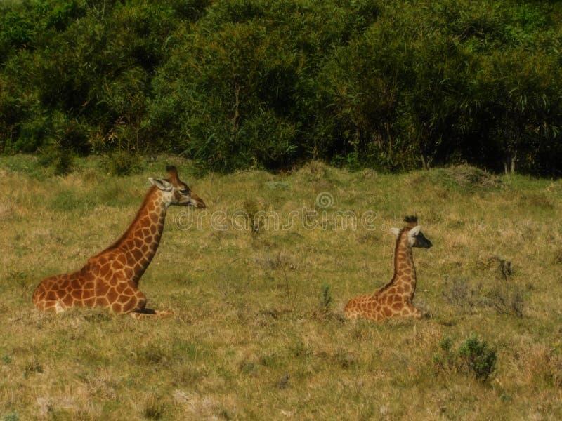 Madre y bebé Giraffe imagen de archivo libre de regalías