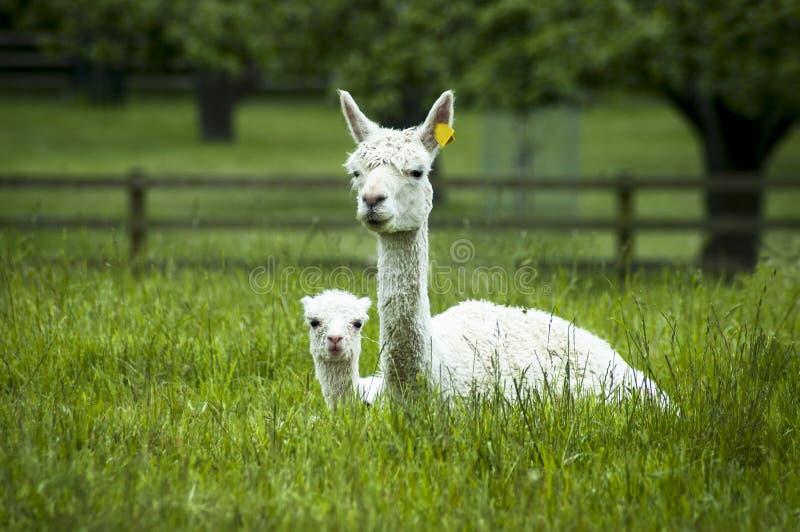 Madre y beb? de la alpaca fotografía de archivo