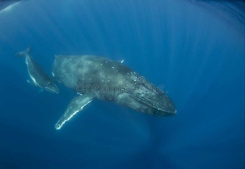 Madre y becerro de la ballena jorobada imagenes de archivo