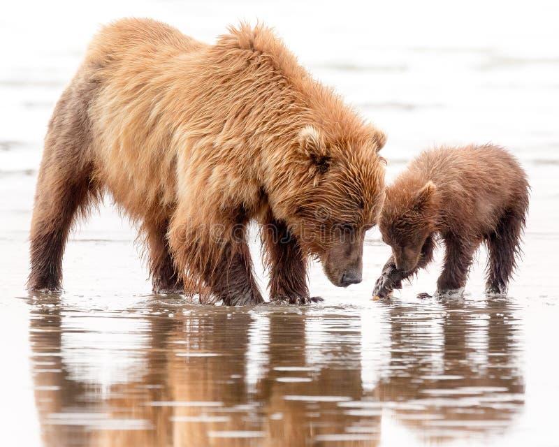 Madre y Cub del oso de Brown que cavan para las almejas foto de archivo