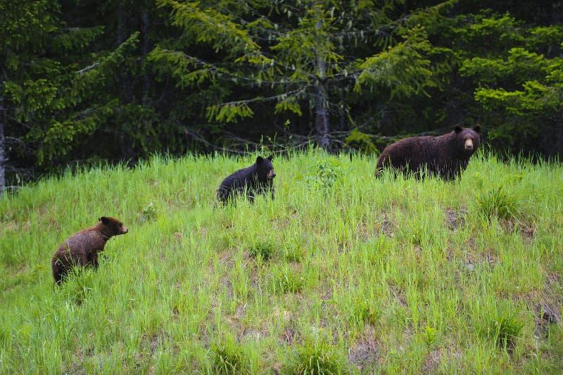 Madre y dos Cubs del oso negro imagenes de archivo