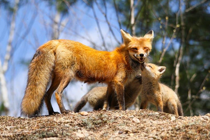 Madre y equipos del Fox rojo imagenes de archivo