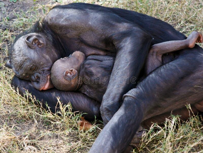 Madre y niño del Bonobo que duermen en hierba fotos de archivo