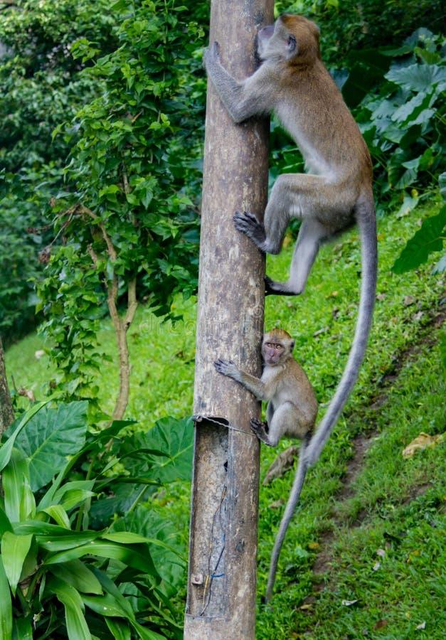 Madre y niño del mono de Macaque que juegan alrededor imagenes de archivo