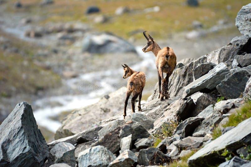 Madre y perrito alpinos de la gamuza Parque nacional de Gran Paradiso, Italia imagenes de archivo
