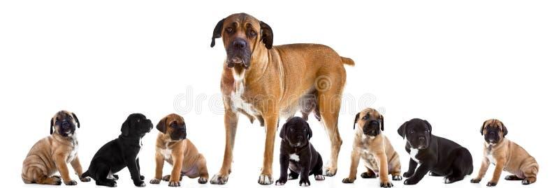 Madre y 7 perritos de Cane Corso Italiano junto fotografía de archivo