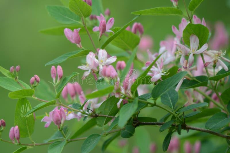 Madressilva cor-de-rosa de florescência fotos de stock royalty free