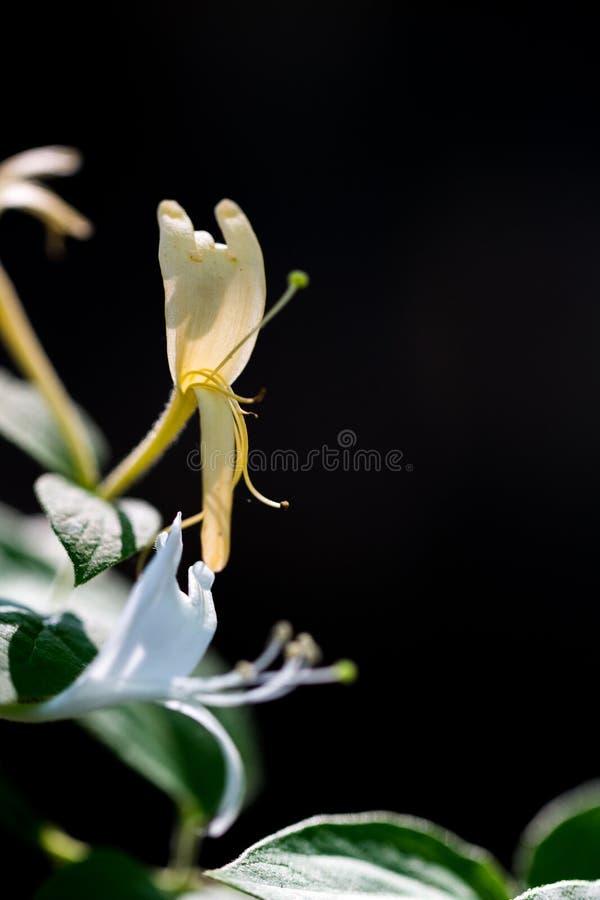 Madressilva da Dourado-e-prata imagens de stock