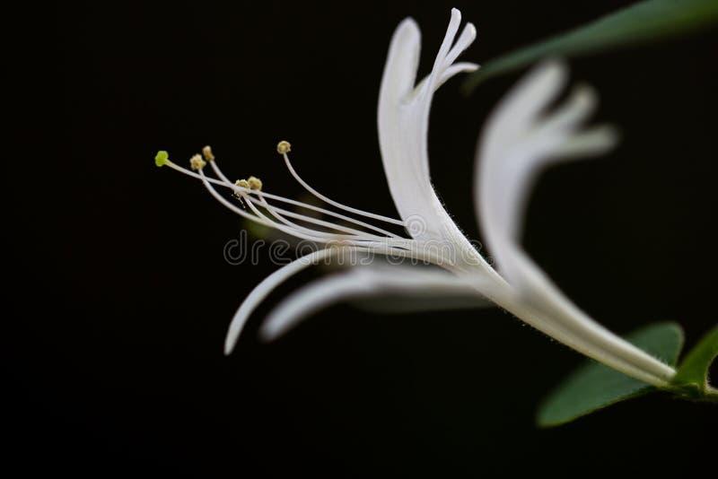 Madressilva da Dourado-e-prata foto de stock royalty free