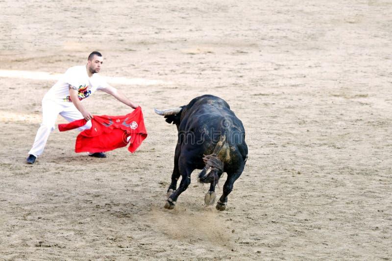 MADRID SUBURB OF SAN SEBASTIAN DE LOS REYES - SEPTEMBER 29: Men. Having fun with young bulls in San Sebastian de los Reyes during festival, Spain in 2013 stock photography