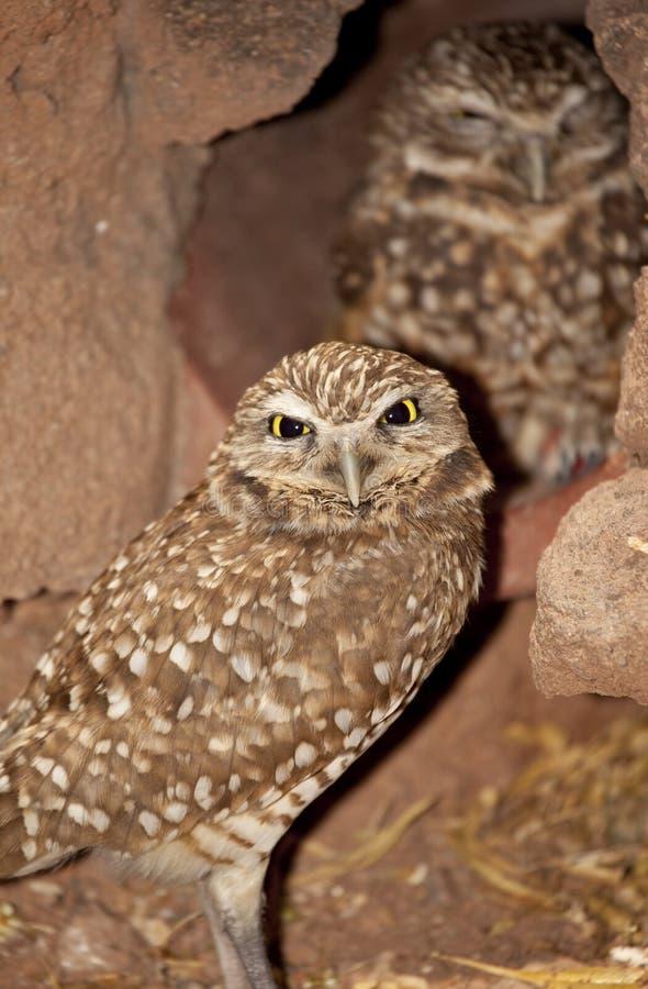 Madriguera de los buhos (cunicularia del Athene) en Arizona fotos de archivo libres de regalías