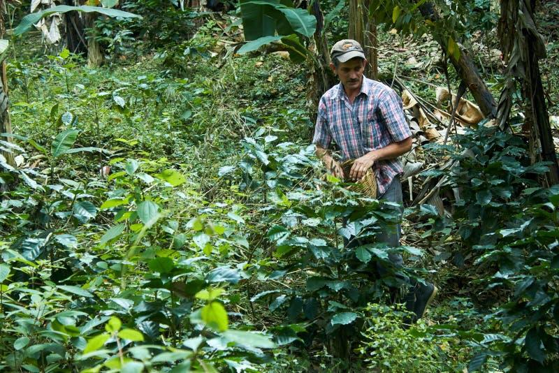 Madriz Nicaragua - Januari 26,2019: man som väljer kaffefrukter i en nicaraguansk lantgård royaltyfri bild