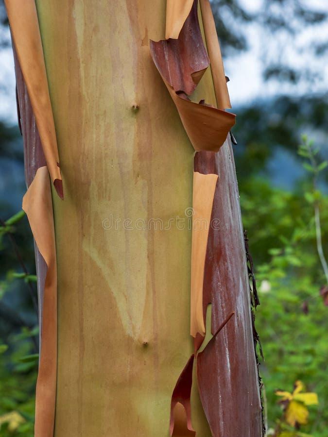Madrona di Pacifico del tronco di albero di arbutus immagine stock libera da diritti