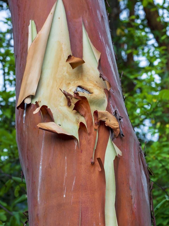 Madrona di Pacifico del tronco di albero di arbutus immagini stock
