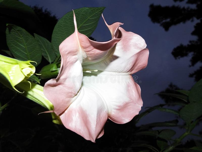 Madrugada Angel Trumpet Flower fotos de archivo