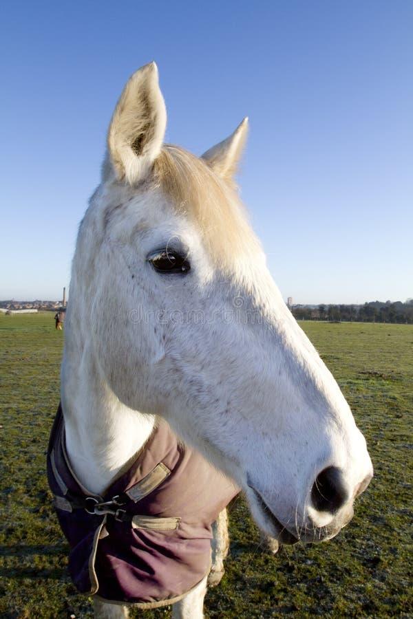 Madrugada de la consumición del caballo blanco foto de archivo