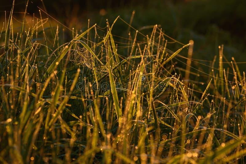 Madrugada en las extremidades de la hierba imagen de archivo