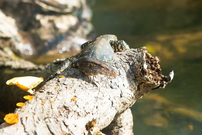 Madu甘加, Balapitiya,斯里兰卡-监控蜥蜴享用 免版税库存照片