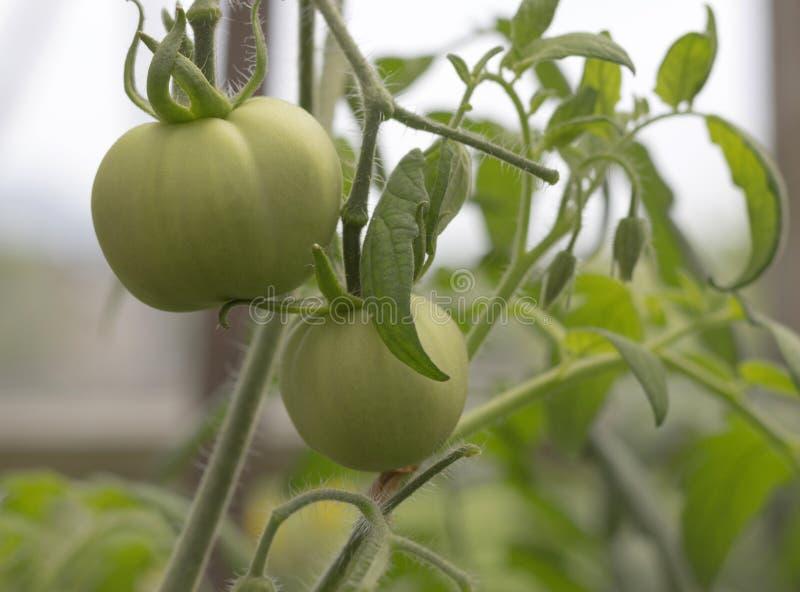 Maduración en los tomates del jardín imagen de archivo