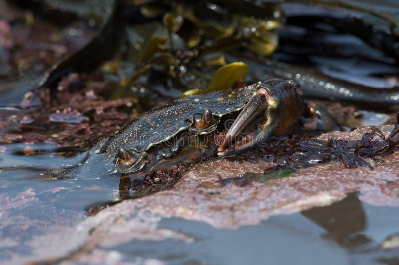 Maenas verts de Carcinus de crabe enragé images stock