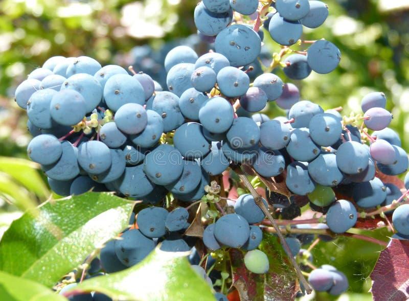 Maeonia-Beeren auf Strauch stockbild