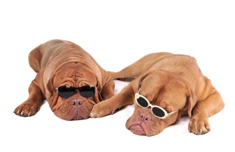 Mafia-Hunde stockfotos