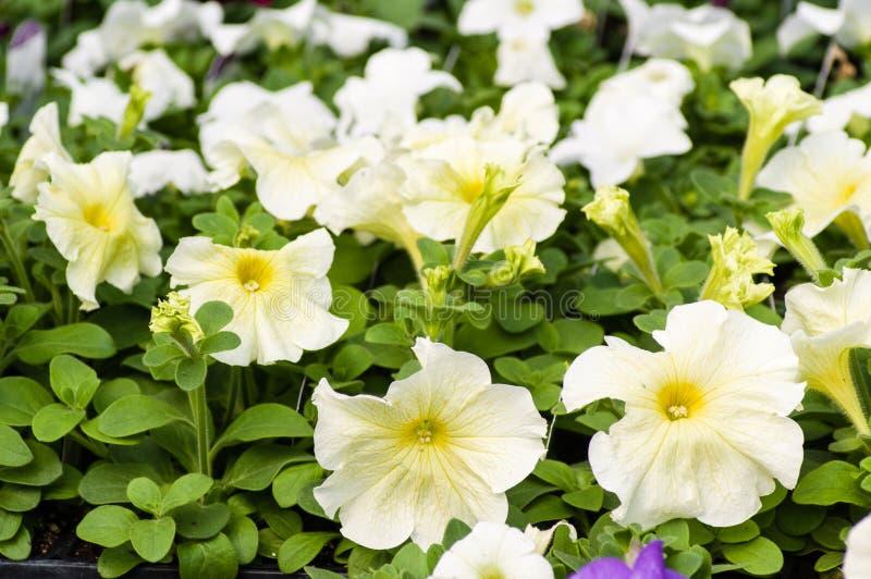 Magasin av vita blomningpetunior arkivfoto