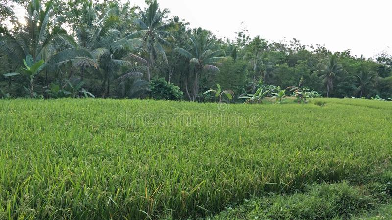Magelang, Indonesia El paisaje del campo de arroz verde fotos de archivo libres de regalías