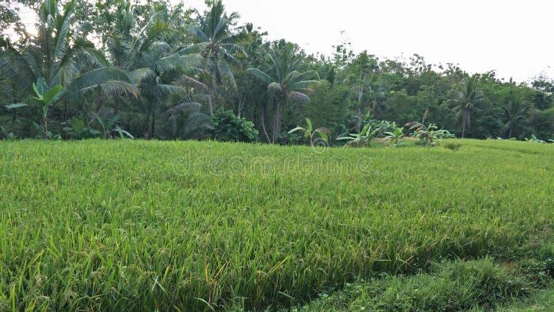 Magelang, Indonesien Die Landschaft des grünen Reisfeldes lizenzfreie stockfotos
