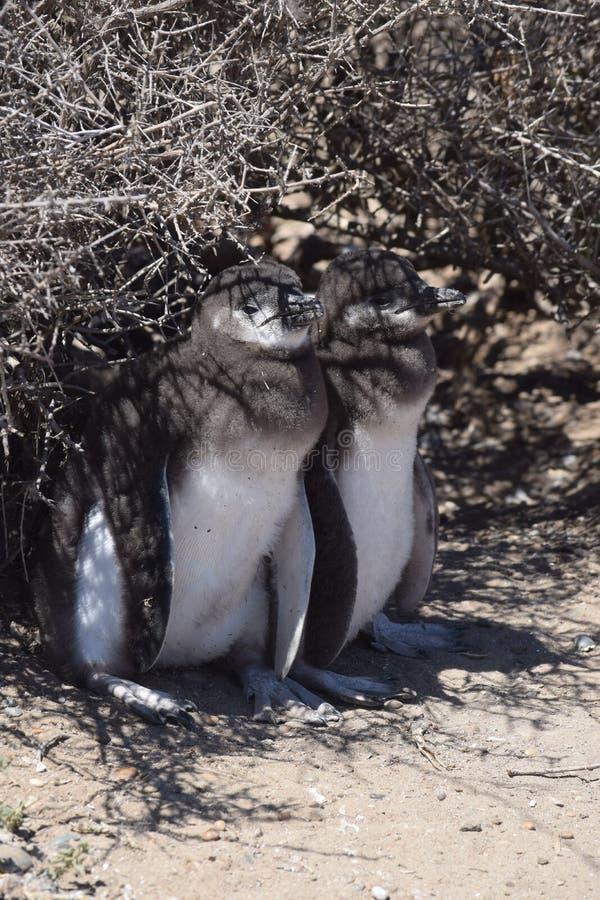 Magellan behandla som ett barn pingvin royaltyfria foton