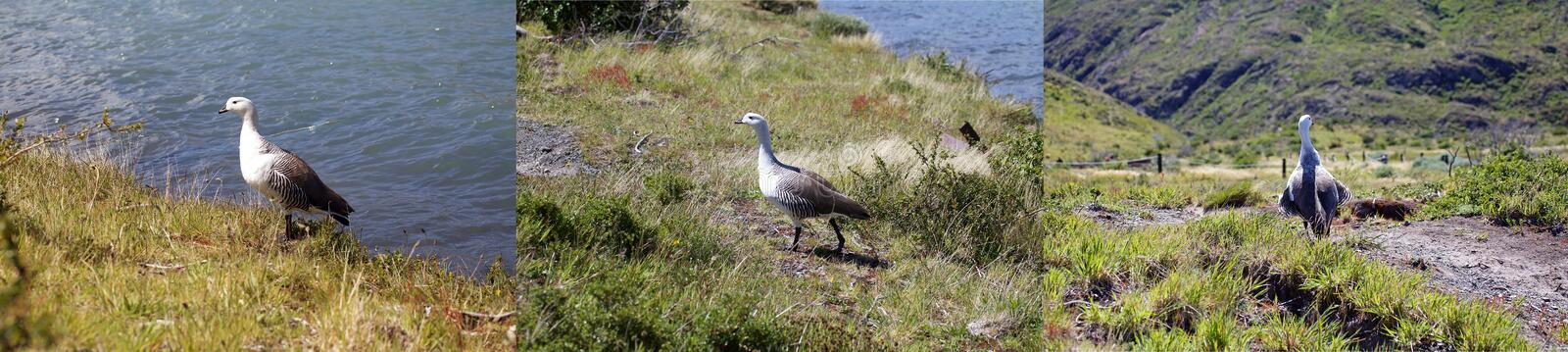 Magellan goose Chloephaga picta at the Lake Pehoe In Torres del Paine National Park, southern Chile stock images