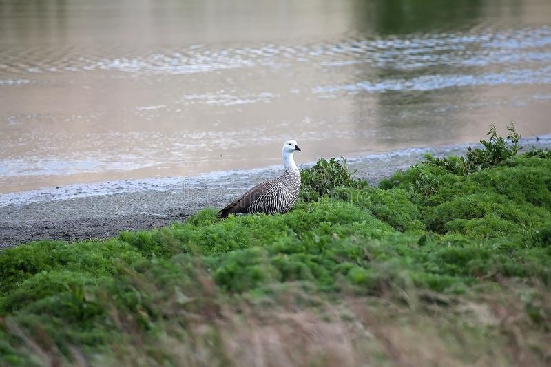 Magellan goose Chloephaga picta in Patagonia, Argentina stock photos
