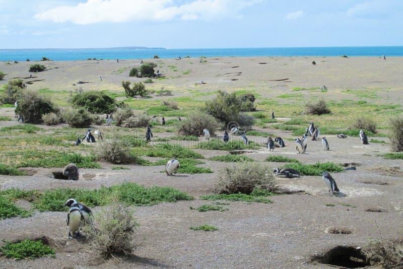 Magellan penguins στη φυσική περιοχή στοκ φωτογραφίες με δικαίωμα ελεύθερης χρήσης