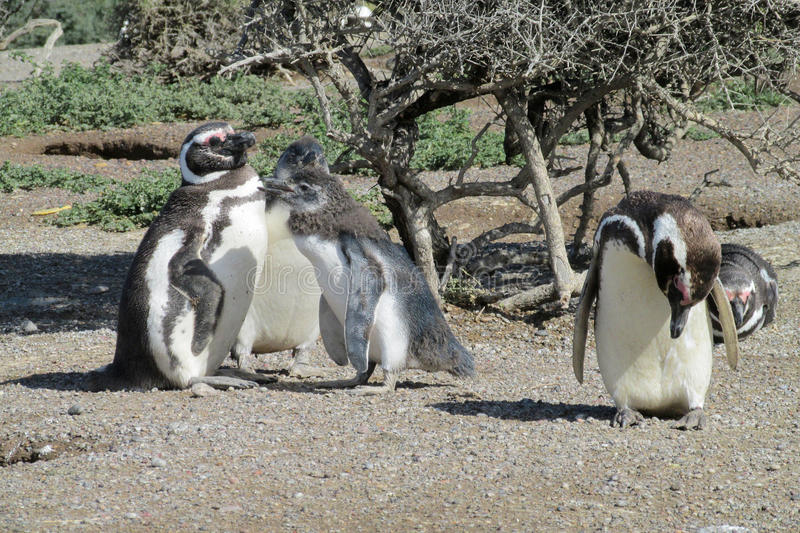 Magellan penguins colony royalty free stock image